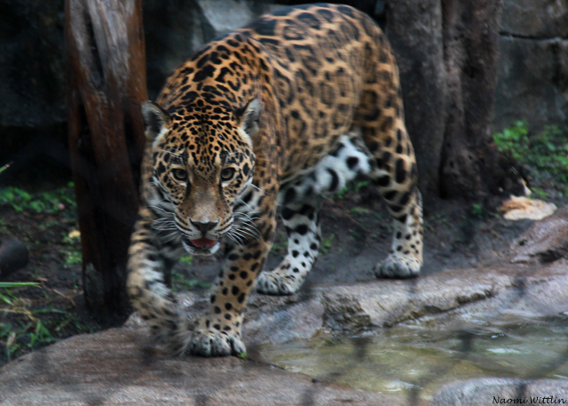 Jaguar hunting