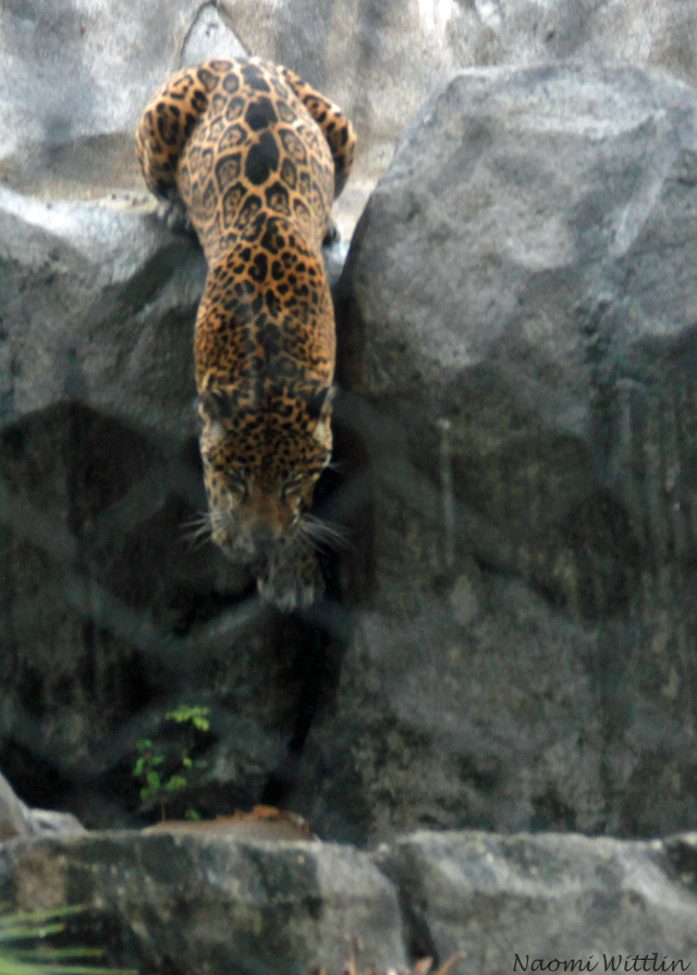 Jaguar jumping