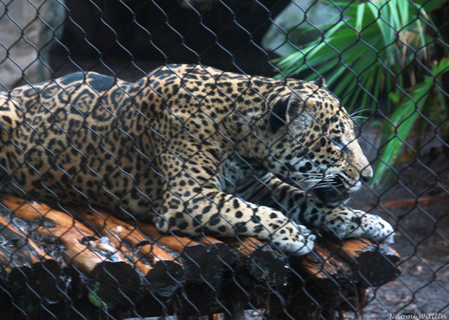 Jaguar watching mate